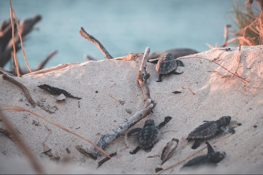 Tiny baby turtles crawl up a sand dune